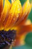 Sonnenblume Lizenzfreie Stockfotos