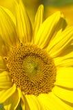 Sonnenblume Fotografia Stock Libera da Diritti
