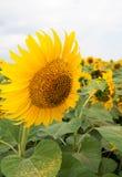 Sonnenblume 2 Lizenzfreie Stockfotos