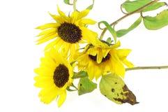 Sonnenblume #4 lizenzfreie stockfotos