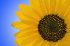Sonnenblume Lizenzfreie Stockbilder