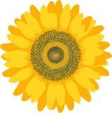 Sonnenblume. Stockbilder