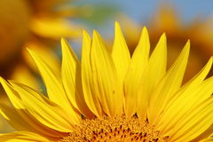 Sonnenblume. Lizenzfreie Stockfotos