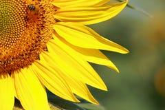 Sonnenblume. Lizenzfreies Stockbild