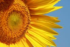 Sonnenblume. Lizenzfreie Stockbilder