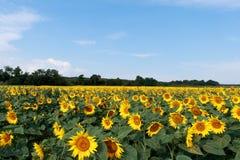 Sonnenblume. Stockfotos