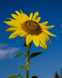 sonnenblume Stockbild