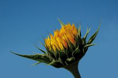 Sonnenblume aber Lizenzfreie Stockfotos