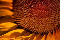Sonnenblume-abstrakter Hintergrund stockfotos