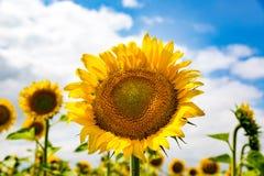 Sonnenblume auf acricultural Wiese Stockfotografie