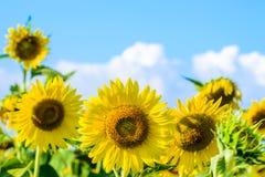 Sonnenblume auf blauem Himmel Stockfotografie