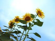 Sonnenblume auf blauem Himmel Stockbild
