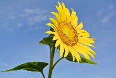 Sonnenblume auf blauem Himmel Lizenzfreie Stockfotos