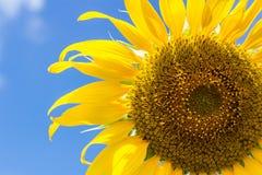 Sonnenblume auf blauem Himmel mit Wolkenhintergrund Stockbilder