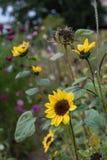 Sonnenblume auf dem Blumengebiet und Garten im Herbstende des Sommers Stockfoto