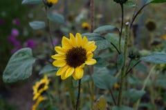 Sonnenblume auf dem Blumengebiet und Garten im Herbstende des Sommers Lizenzfreie Stockfotos
