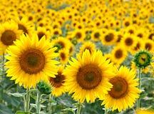Sonnenblume auf dem Feld Stockfotos