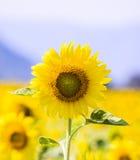 Sonnenblume auf dem Feld Lizenzfreie Stockbilder