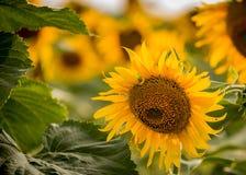 Sonnenblume auf dem Feld Sommerfeld der Sonnenblumen lizenzfreies stockbild