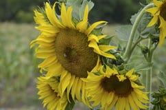 Sonnenblume auf dem Gebiet Stockbild