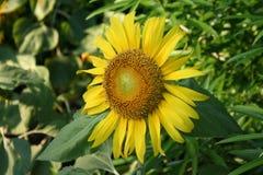 Sonnenblume auf dem Gebiet lizenzfreie stockfotografie
