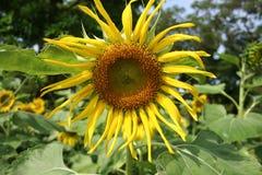 Sonnenblume auf dem Gebiet stockbilder