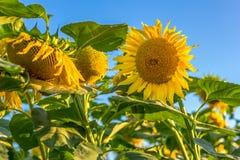 Sonnenblume auf dem Gebiet Stockfoto