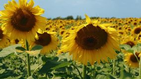 Sonnenblume auf dem Gebiet Bewegung der Kamera von unterhalb oben Abschluss oben stock video footage