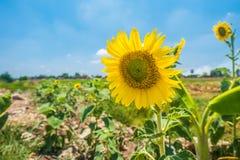 Sonnenblume auf dem Gebiet im Sommer Lizenzfreies Stockfoto