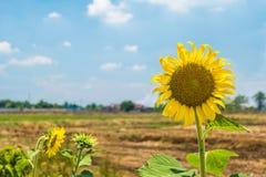 Sonnenblume auf dem Gebiet im Sommer Lizenzfreie Stockfotos