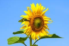 Sonnenblume auf dem Gebiet mit Hintergrund des blauen Himmels und sonniges Lizenzfreie Stockbilder