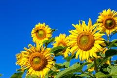 Sonnenblume auf dem Gebiet mit Hintergrund des blauen Himmels und sonniges Stockfotografie