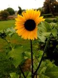 Sonnenblume auf dem Gebiet lizenzfreie stockbilder