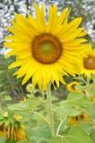 Sonnenblume auf dem grünen Gebiet stockbild
