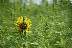 Sonnenblume auf dem Hanfgebiet Lizenzfreies Stockfoto