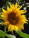 Sonnenblume auf dem Hintergrund von Bäumen Stockfotos