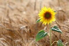 Sonnenblume auf dem Weizengebiet Stockfotos
