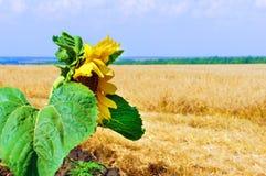 Sonnenblume auf dem Weizengebiet Stockbild