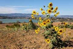 Sonnenblume auf den Gebieten Stockfoto