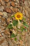 Sonnenblume auf der Wand lizenzfreie stockfotografie
