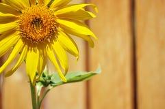 Sonnenblume auf einem Bretterzaunhintergrund lizenzfreies stockbild