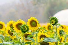 Sonnenblume auf einem Feld stockfoto