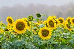 Sonnenblume auf einem Feld lizenzfreie stockfotos