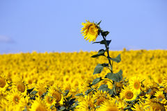 Sonnenblume auf einem frühen Morgen auf einem Gebiet Stockfoto