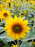 Sonnenblume auf einem Gebiet Lizenzfreie Stockfotos