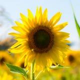 Sonnenblume auf einem Gebiet Stockbild