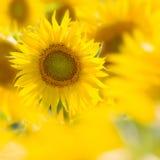 Sonnenblume auf einem Gebiet Lizenzfreies Stockfoto