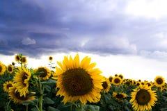 Sonnenblume auf einem Gebiet und dunklen Wolken Schließen Sie herauf Ansicht von Sonnenblumen Stockbilder