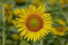 Sonnenblume auf einem großen Gebiet Lizenzfreies Stockfoto