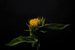 Sonnenblume auf einem schwarzen Hintergrund Lizenzfreie Stockfotos